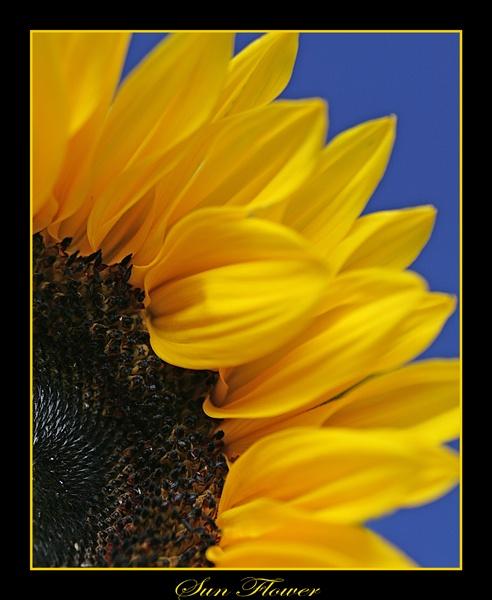 Sun Flower by RLB