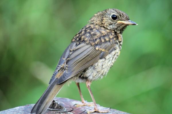 Scraggy bird by paulbof