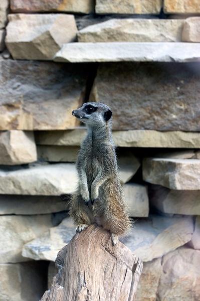 meercat by geosami