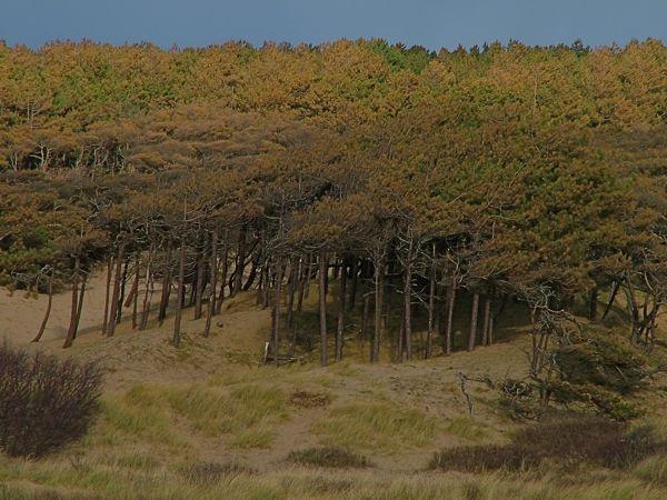 Stunted pines by alansdottir
