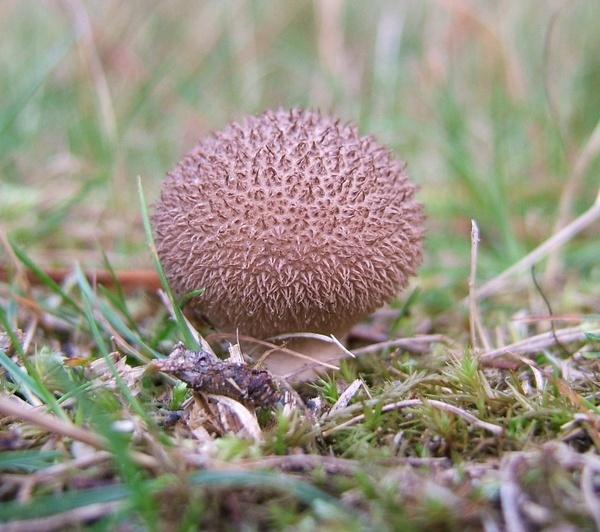 hedgehog puffball by linsp