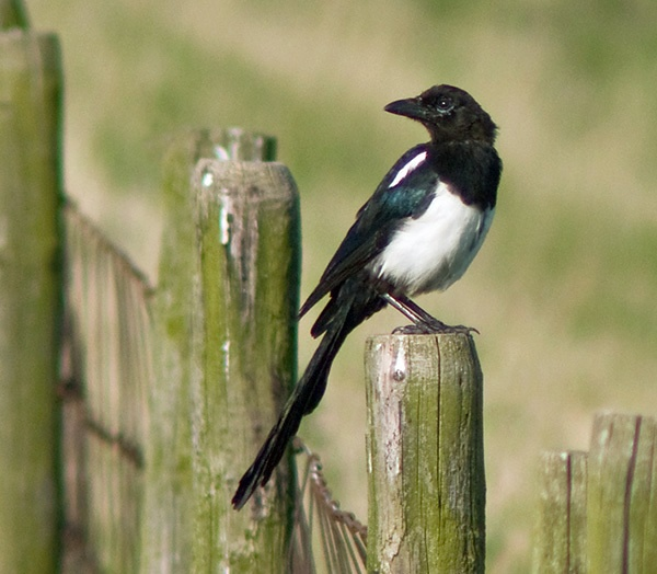 magpie by macdaniel