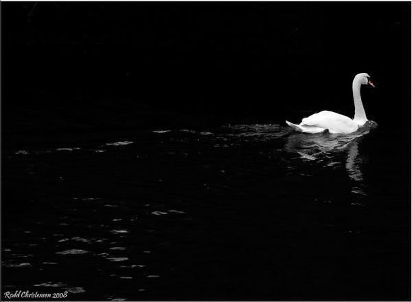 Swan by RoddBC