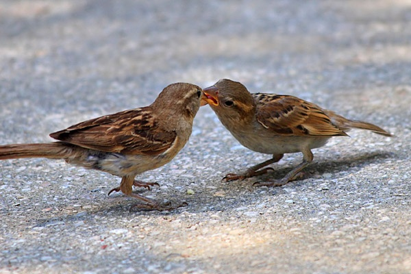 Sparrows by Robak