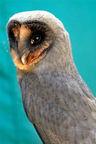 Melanistic Barn Owl by geniehawk