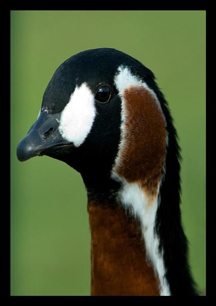 Goose by SecretSnapper