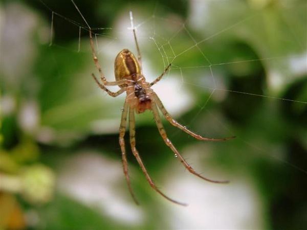 Spider by pixellady