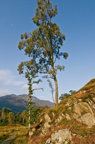 90 Degree tree + Ben Venue by Richardtyrrelllandscapes