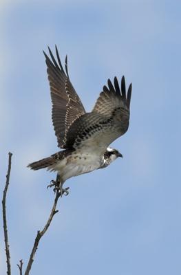 Osprey by Phatboy