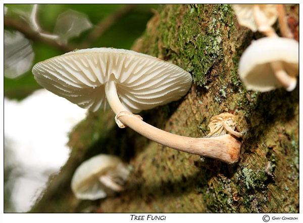 Oudemansiella Nocturnum by shinyredmx5