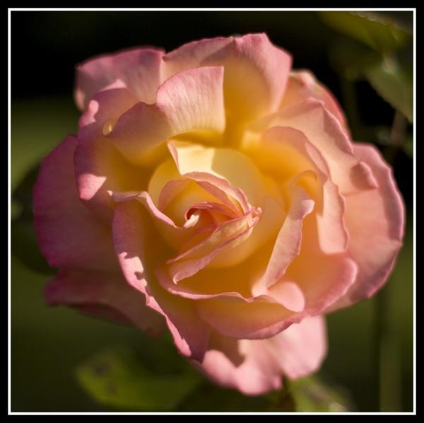 Flower by r0nn1e