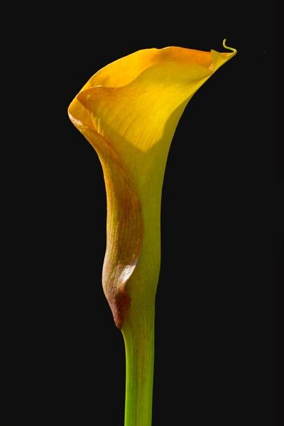 Canna Lily2 by richardolivermartin