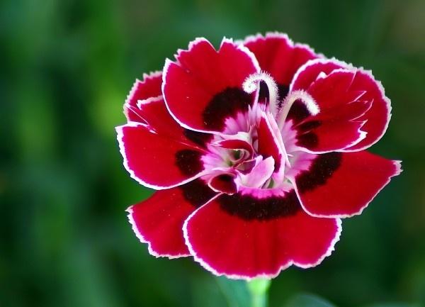 Little Carnation by jackitec