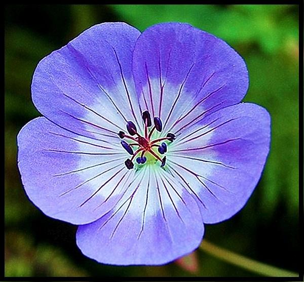 Bonny Blue Flower by mrsvee