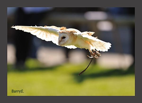 Barn Owl in Flight at the Bird of Prey meet today by smitbar