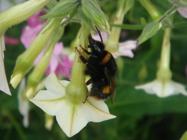 Buzy Bee! by lillizzie
