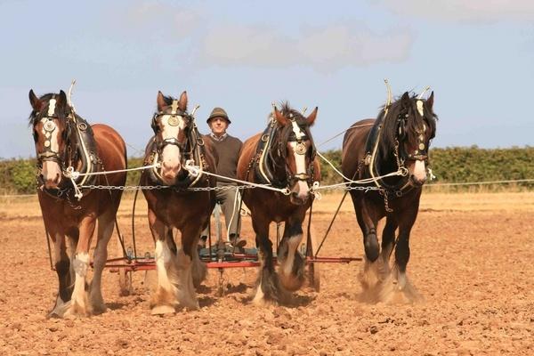 working horses by shamo