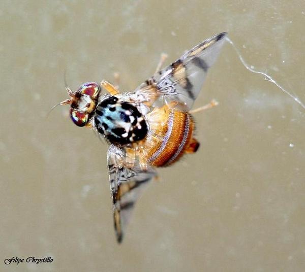 Psychadelic Fly by fjchrystello