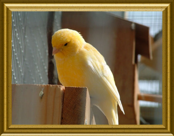 Yellow Canary by cad28