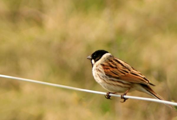tree sparrow by shelldud