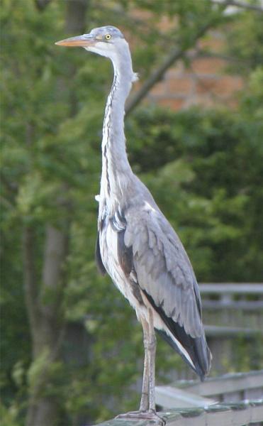 heron by shelldud