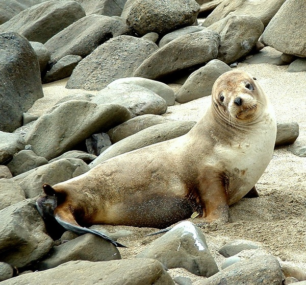 Seal on the beach by samjackster