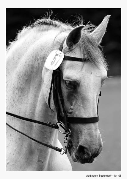 Grey Horse by francisr