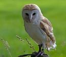 Barn Owl by bppowell