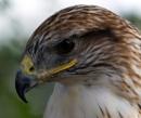 Ferruginous Hawk by bppowell