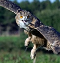 Eagle Owl #2 by bppowell