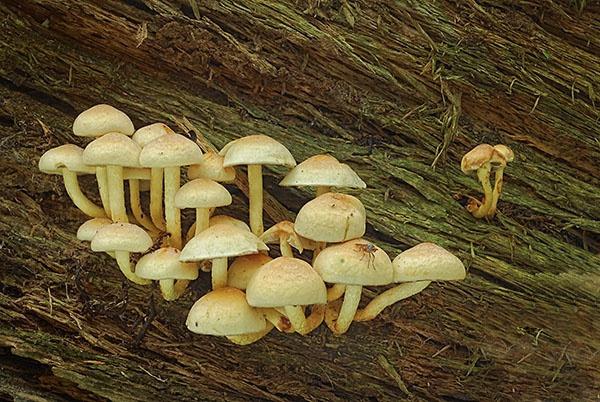 Sulphur Tuft Fungi? by fishing