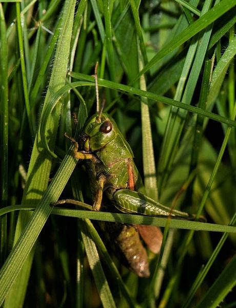 grass hopper by dden