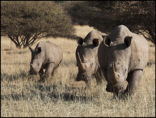 southern white rhino by yemtrav