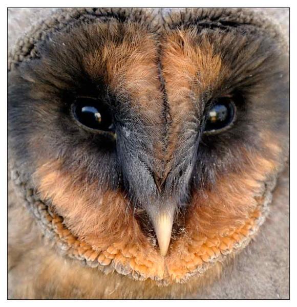 Melanistic Barn Owl 2 by geniehawk