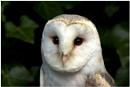 Barn Owl Portrait by Chrism8