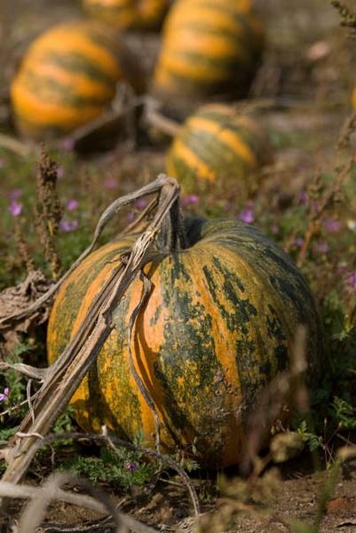 Pumpkin by kasv