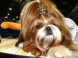 Canine queen