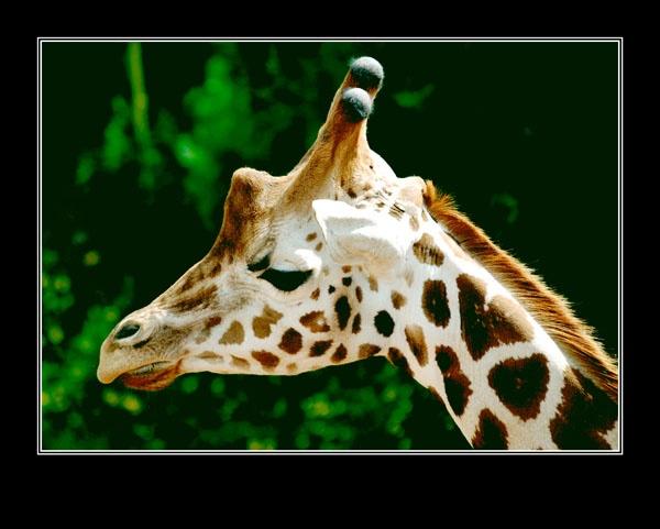 Giraffe by RAYMO