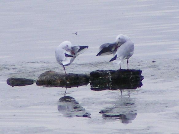 Preening Black Headed Gulls by SiSheff