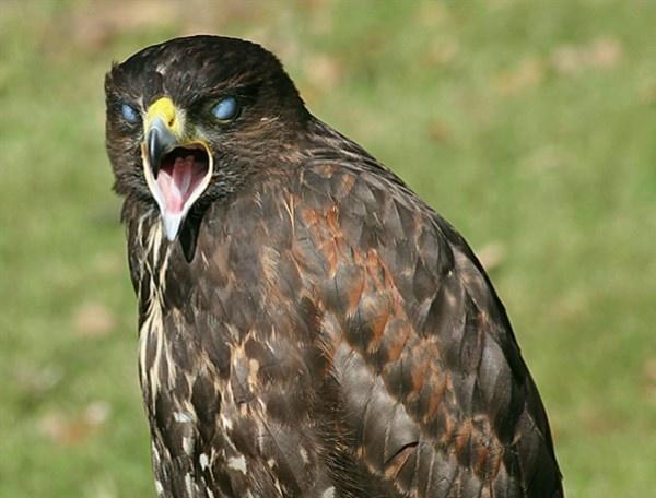 Harris Hawk??? by jove