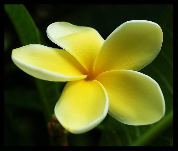 Exotic Yellow Flower by mrsvee
