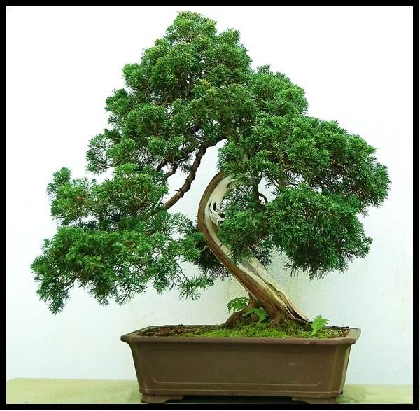 250 Year Old Bonsai Tree by mrsvee
