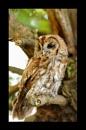 Tawny Owl in tree by smitbar