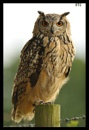Eagle Owl on fencepost by smitbar