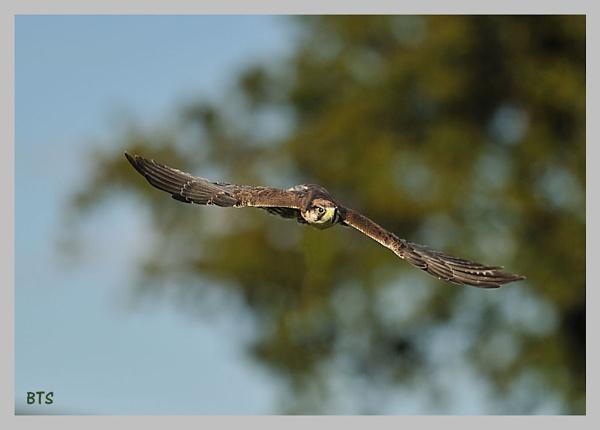 Falcon in flight by smitbar