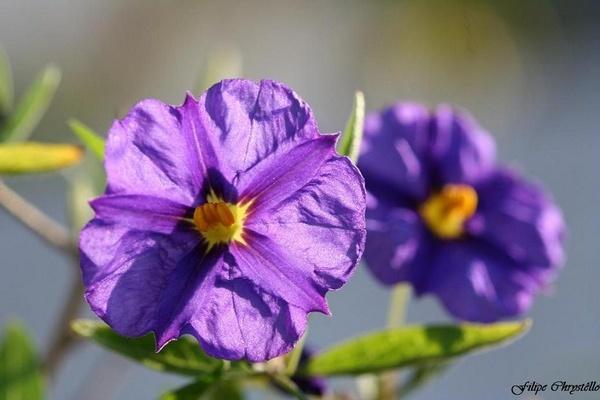 Purple Feelings by fjchrystello