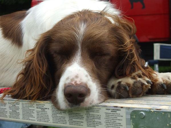 Sleeping spaniel by Hay1ey