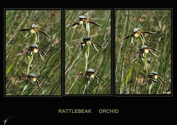 Rattlebeak Orchid by TheSunflowerExpress