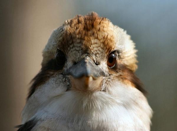 Kookaburra by iancam