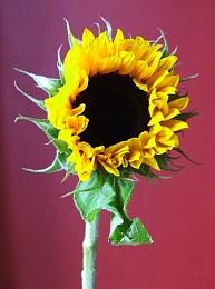 Little sun flower